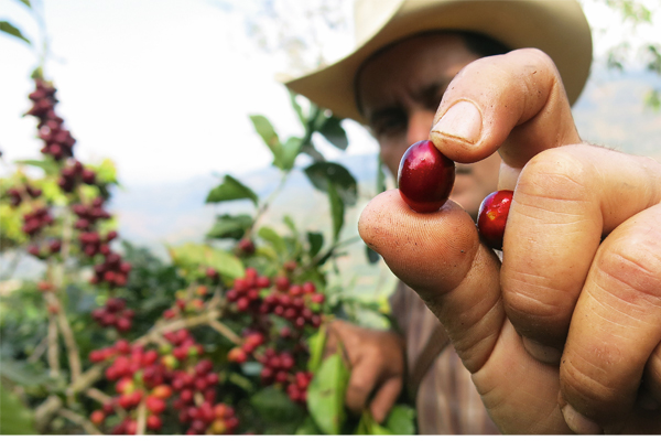 ICO July: Global coffee prices drifted downwards during July